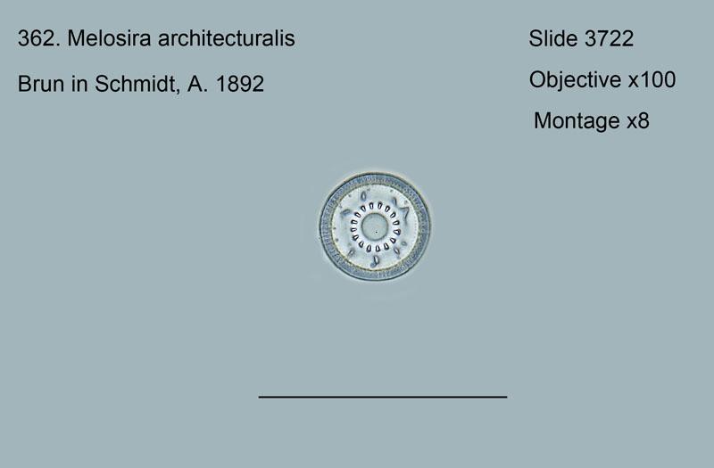 362. Melosira architecturalis