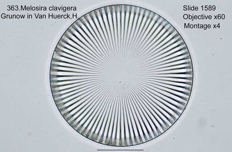 363. Melosira clavigera