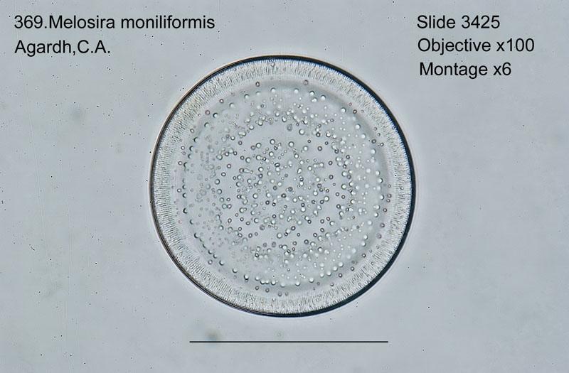 369. Melosira moniliformis