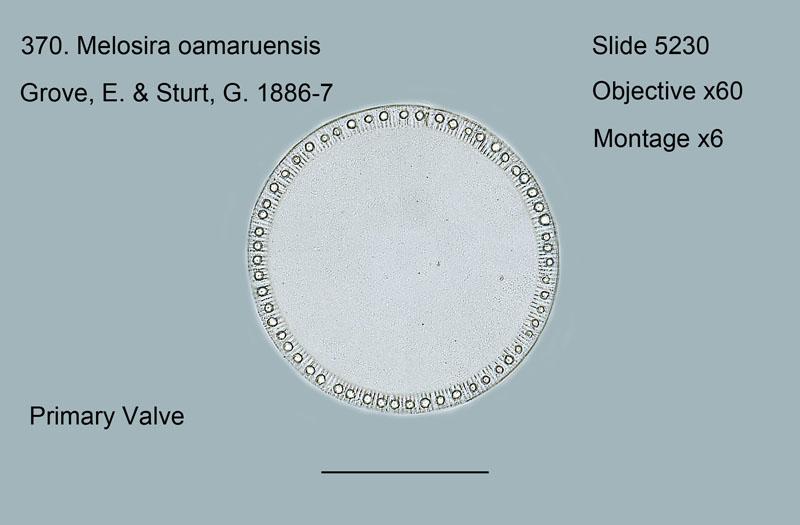 370. Melosira oamaruensis. Primary Valve