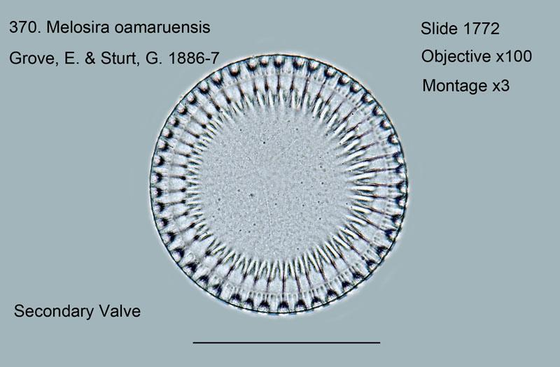 370. Melosira oamaruensis. Secondary valve.