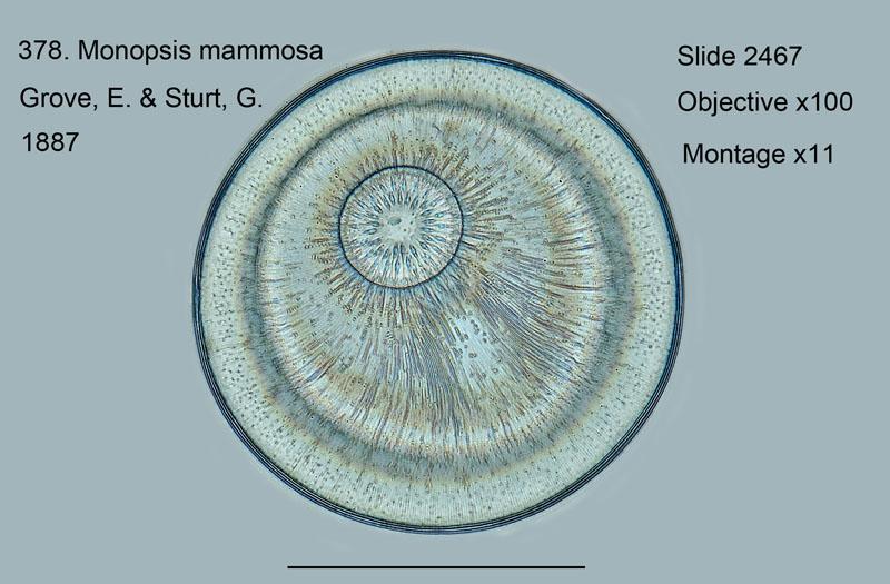 378. Monopsis mammosa