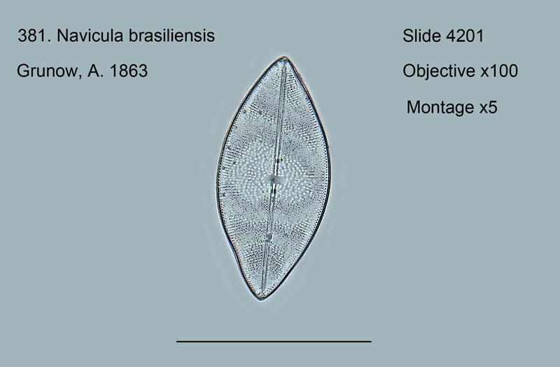 381. Navicula brasiliensis