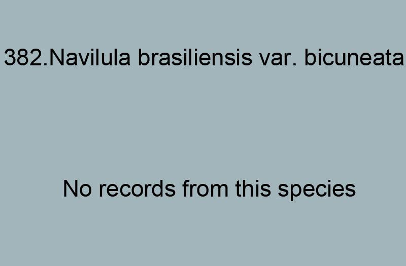 382. Navicila brasiliensis var. bicuneata