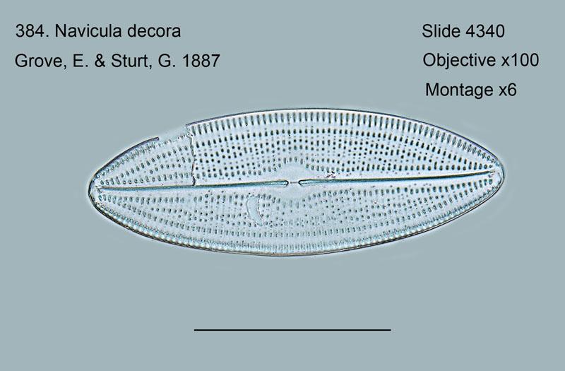 384. Navicula decora