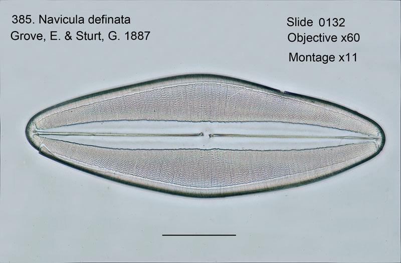 385. Navicula definata