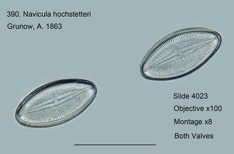 390. Navicula hochstetteri. Both valves.