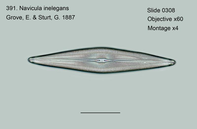 391. Navicula inelegans
