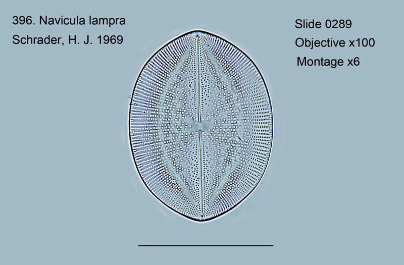 396. Navicula lampra