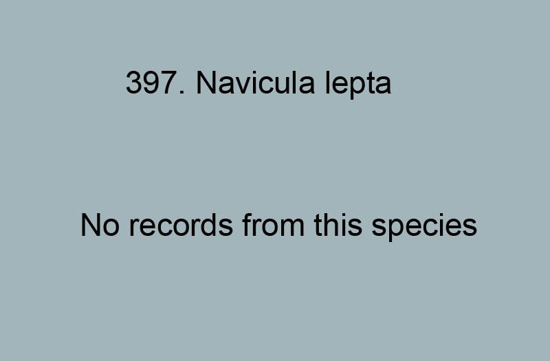397. Navicula lepta