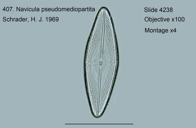 407. Navicula pseudomediopartita