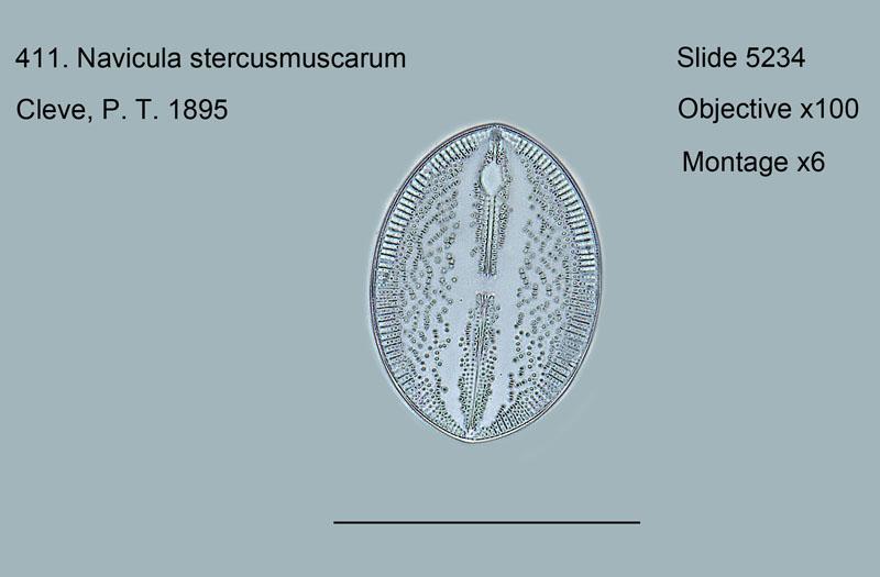 411. Navicula stercusmuscarum