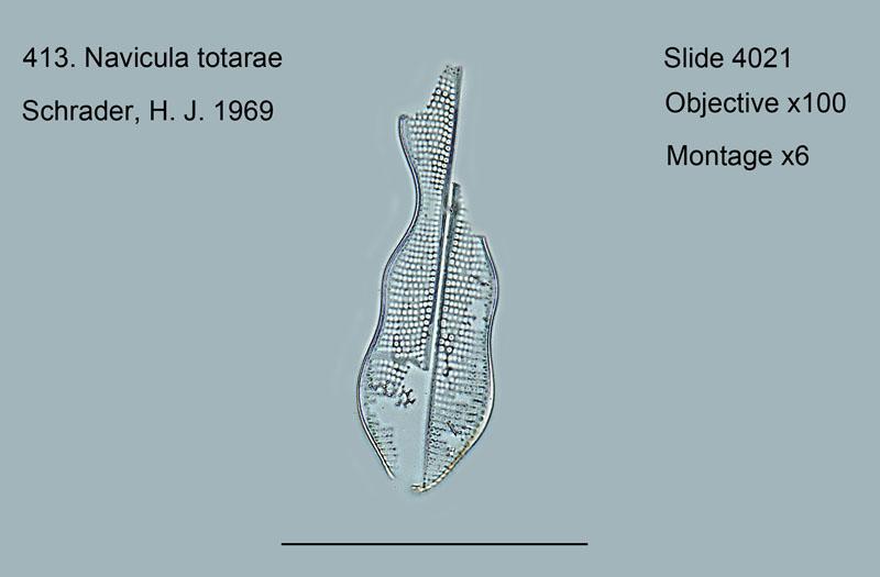 413. Navicula totarae