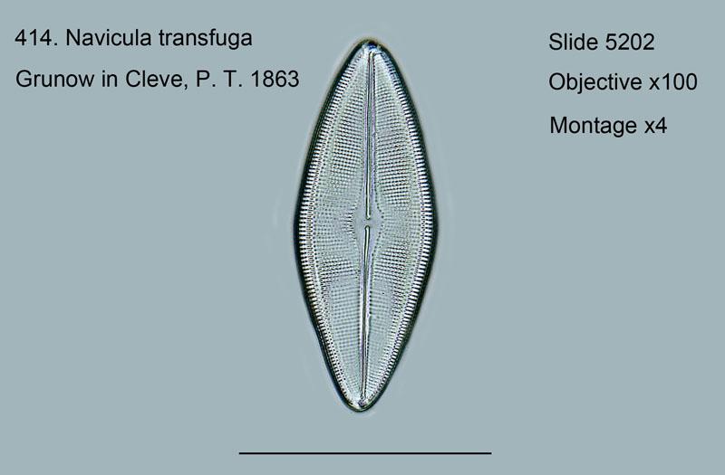 414. Navicula transfuga