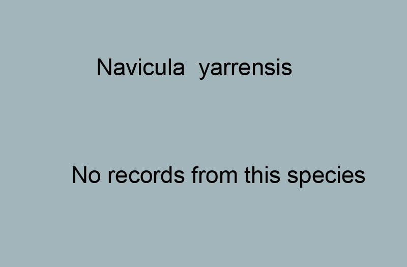 416. Navicula yarrensis