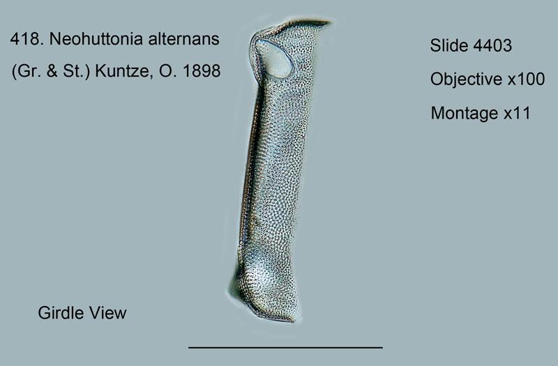 418. Neohuttonia alternans. Girdle view.