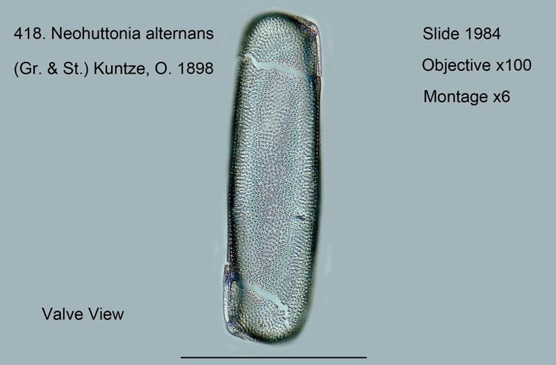 418. Neohuttonia alternans. Valve View.