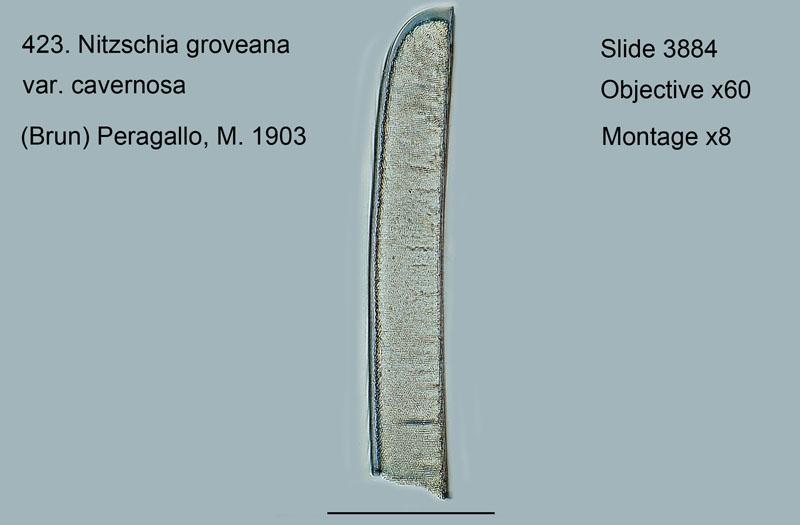 423. Nitschia groveana var. cavernosa