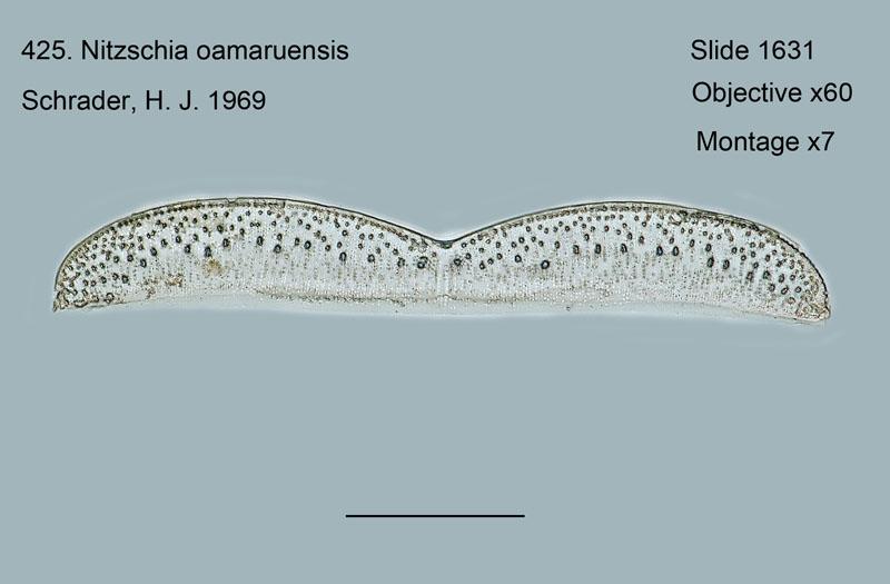 425. Nitschia oamaruensis