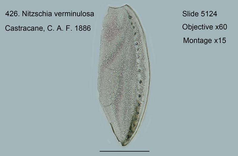 426. Nitschia vermiculata