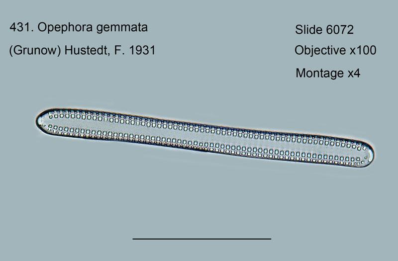 431. Opephora gemmata