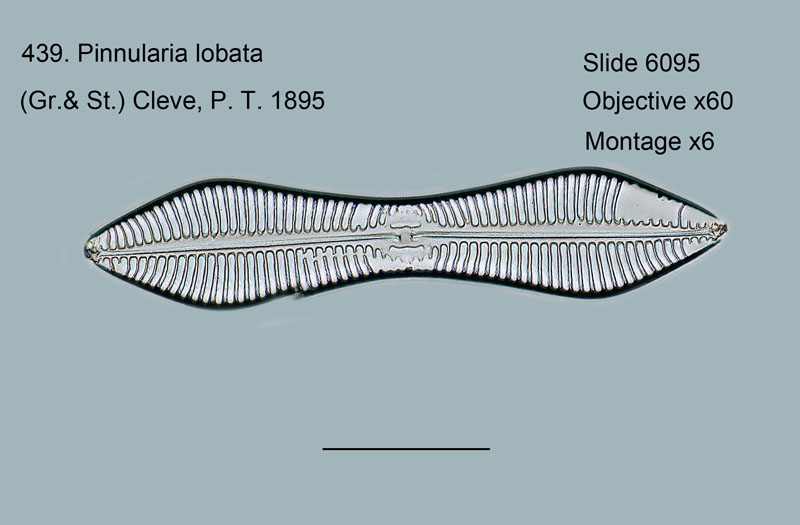 439. Pinnularia lobata