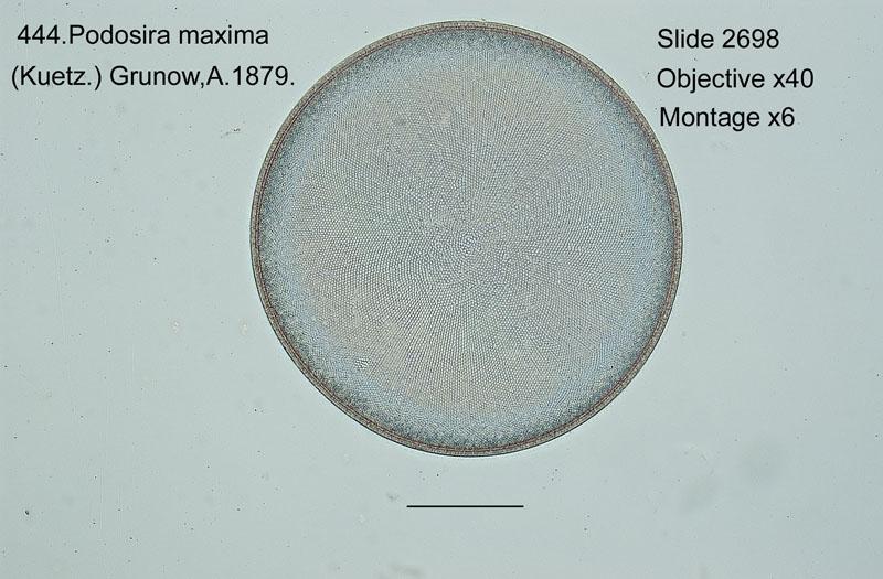 444. Podosira maxima