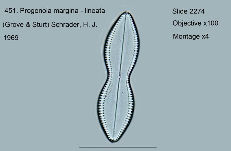 451 progonia marginata - lineata