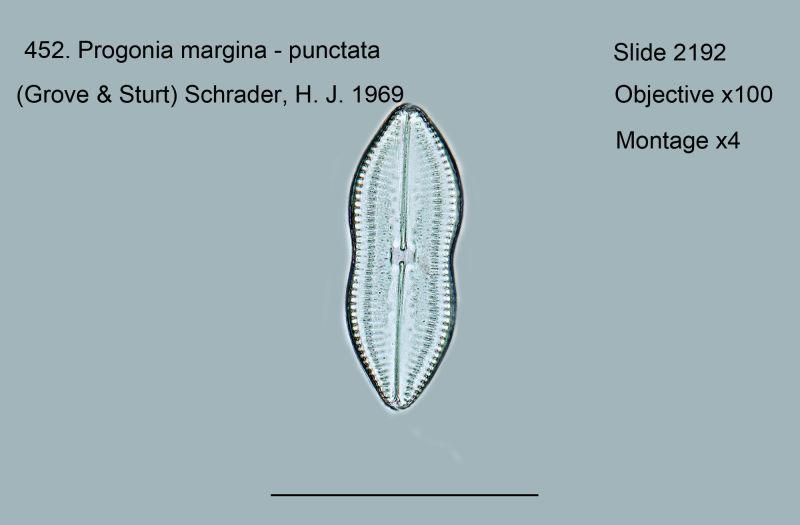 452. Progonia marginata - punctata