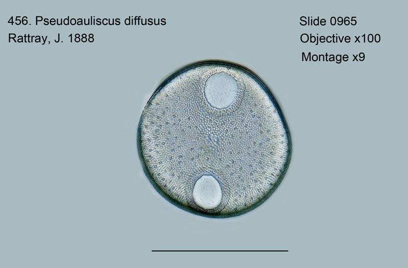 456. Pseudoauliscus diffusus