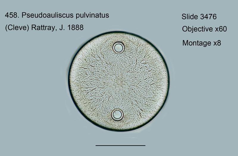 458. Pseudoauliscus pulvinatus