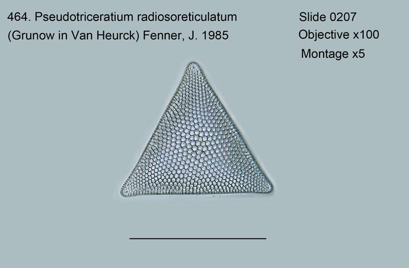 464. Pseudotriceratium radiosoreticulatum