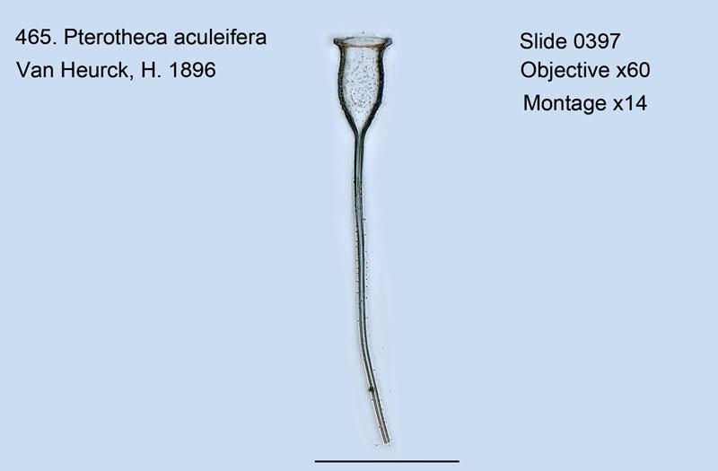465. Pterotheca aculeifera