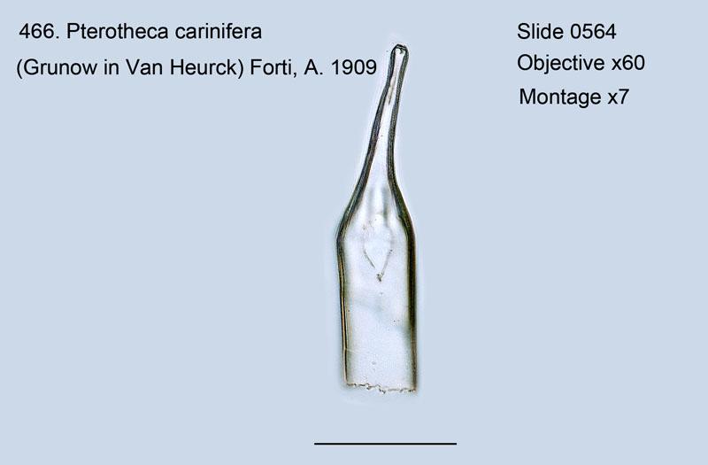 466. Pterotheca carinifera