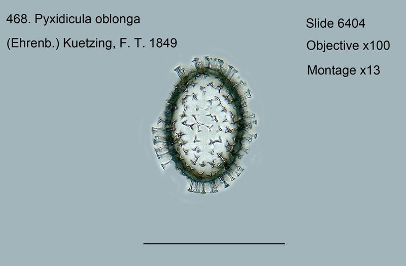 468. Pyxidicula oblonga