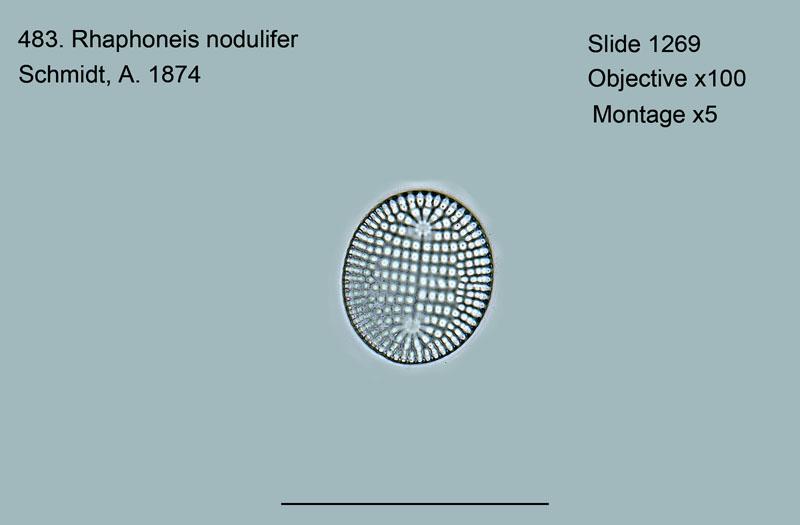 483. Rhaphoneis nodulifer