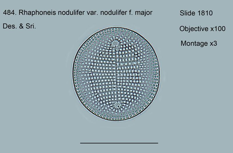 484. Rhaphoneis nodulifer var. nodulifer f. major