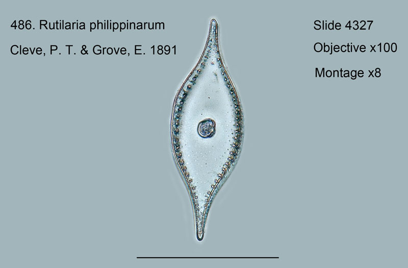 486. Rutilaria philippinarum