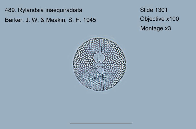 489. Rylandsia inarquiradiata