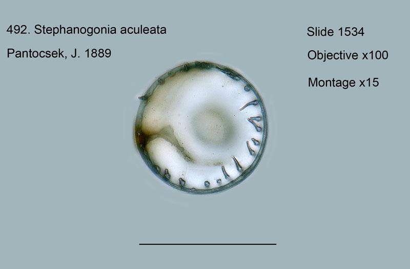 492. Stephanogonia aculeata