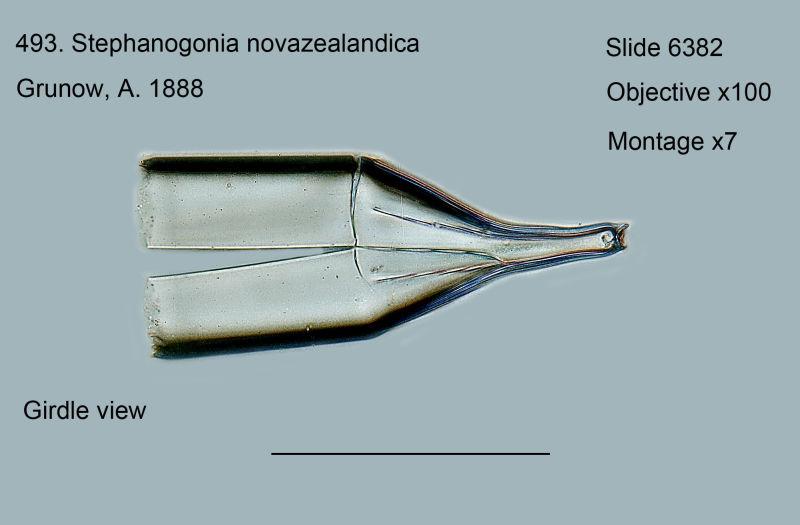 493. Stephanogonia novazealandica. Girdle view.