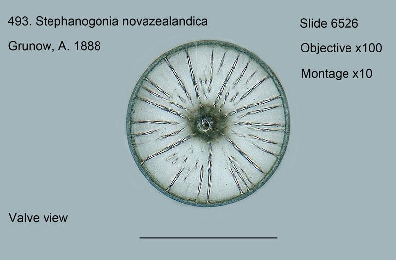 493. Stephanogonia novazealandica. Valve view