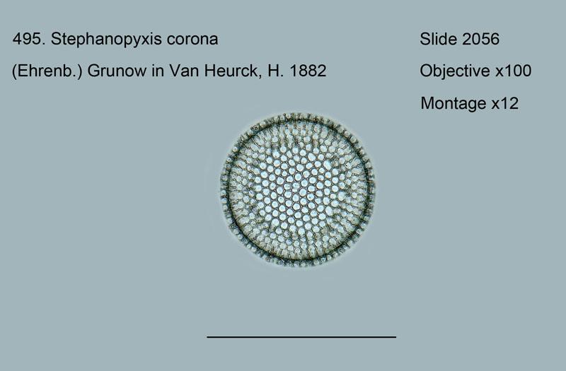 495. Stephanopyxis corona