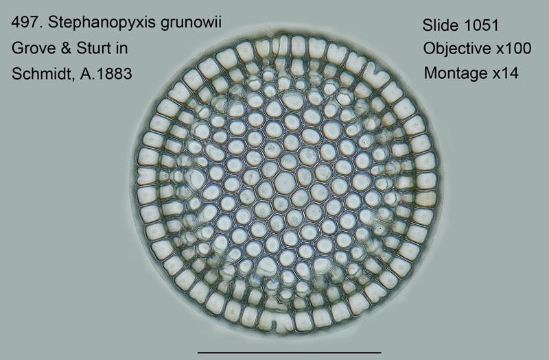 497. Stephanopyxis grunowii