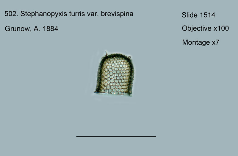 502. Stephanopyxis turris var. brevispina
