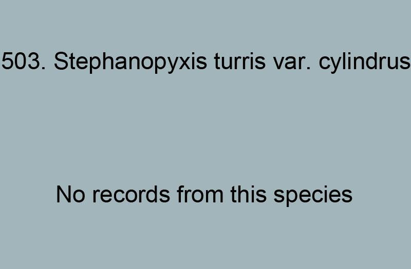 503. Stephanopyxis turrus var. cylindrus