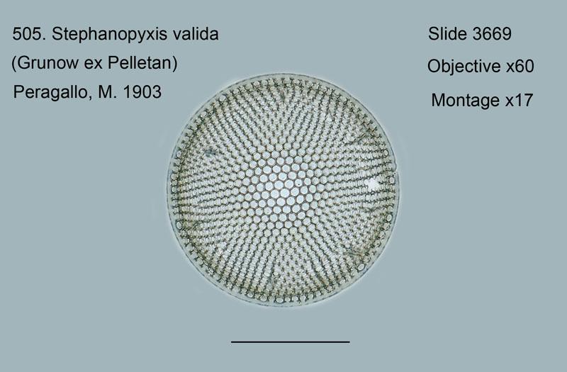 505. Stephanopyxis valida