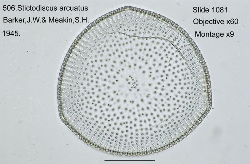 506. Stictodiscus arcuatus