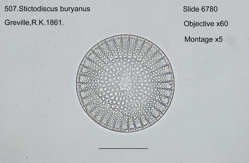 507. Stictodiscus buryanus