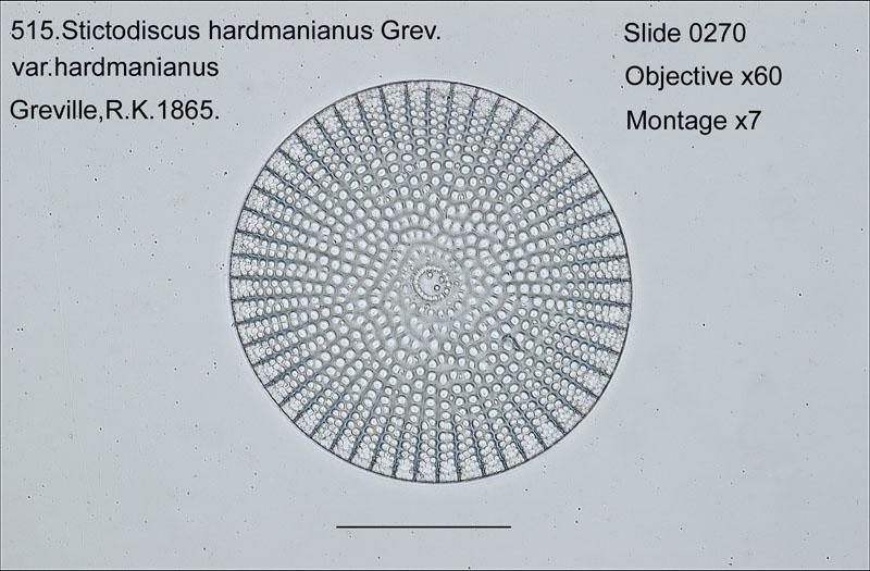 515. Stictodiscus hardmanianus